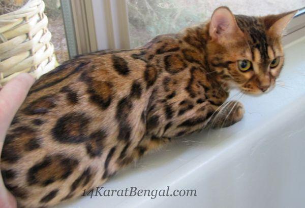 Mesmerizing Bengal Cats Ideas Bengalkittens Bengal Cats 4karat Bengal Kitten Kashamii Owned By Don Bengalkittens In 2020 Bengal Kitten Bengal Cat Bengal Cat For Sale