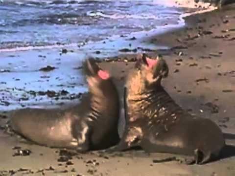Ζώα & Ψάρια της Θάλασσας - Θαλάσσιος Ελέφαντας