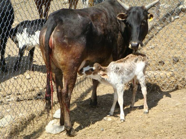 Zebu Cow  feeding calf