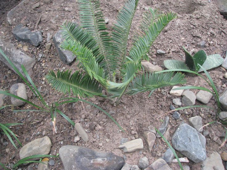 Encephalartos Caffer: South African cycad and is extremely rare. it is valued at R150 a cm. It is a very small plant and its natural environment is in the grass plains