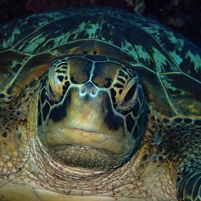 Green turtle - Batu Bolong #indonesia #flores #komodo #labuanbajo #batubolong #green #turtle #currents #scuba #diving #scubaba #livetoscuba #scubadive #underwaterphotography #olympus #padi #instapic #instadive #instadaily #nofilter