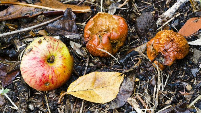 Rotten, fermented fruit has some nutritional value, and may have looked pretty good to our hungry ancient ancestors. Evolving the ability to metabolize the alcohol in fermented fruit may have helped us adapt to a changing climate 10 million years ago, research suggests. #FunFact #NPR #NCCPT