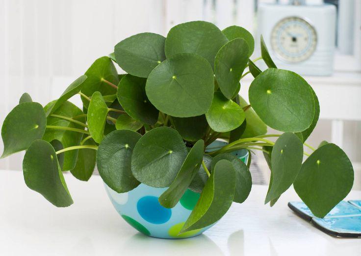Kilpipiilea on trendikäs ja näyttävä huonekasvi. Se on helppohoitoinen huonekasvi ja sopii aloittelijalle. Lue ohje kilpipiiilean hoitoon Viherpihasta.