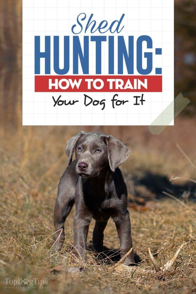 How To Teach Your Dog Shed Hunting Dog Training Dog Training