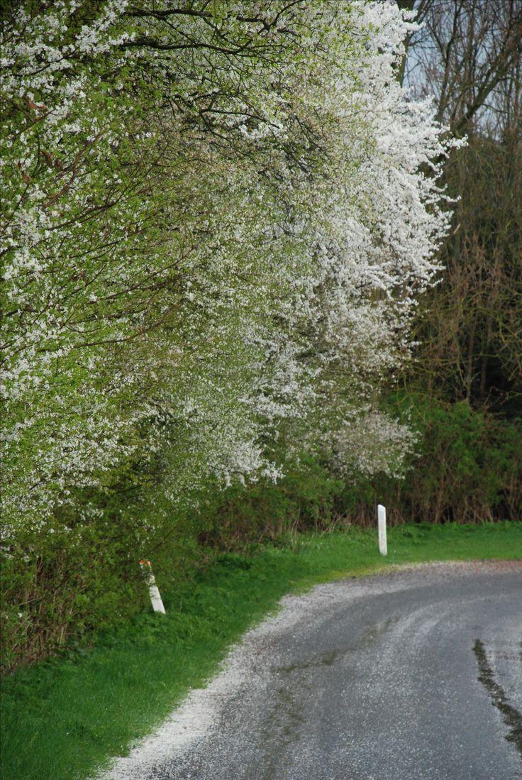 De sidste mirabelblomster ligger som fygesne i vejkanterne på Fejø, her midt i April. Trist men smukt. Nu venter vi på blommer, pærer og hovedattraktionen Æbleblomsterne !