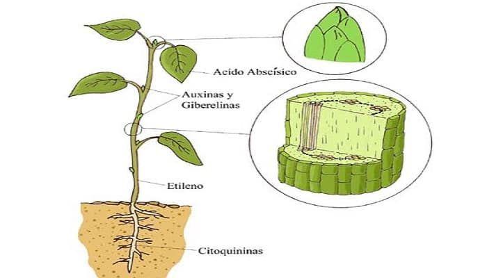 8 best plantas helechos musgos selaginellas images on for Hormonas en las plantas