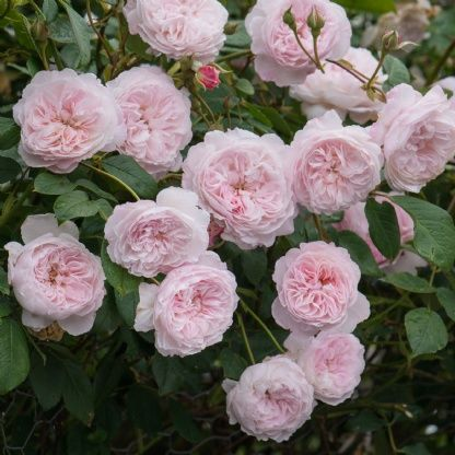 The Albrighton Rambler - David Austin Roses