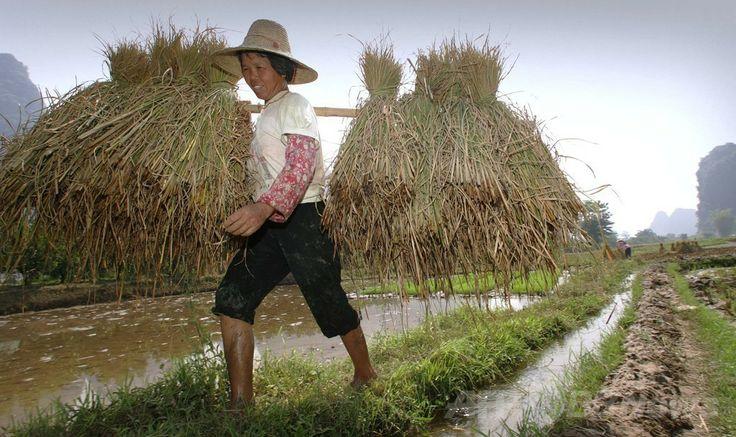 中国南部・広西チワン族自治区(Guangxi Zhuang Autonomous Region)陽朔(Yangshou)県で、稲刈りをする女性(2005年7月30日撮影、資料写真)。(c)AFP/Peter PARKS ▼9May2014AFP|文化の違いは栽培する穀物が影響?研究 http://www.afpbb.com/articles/-/3014493 #Yangshou #Guangxi