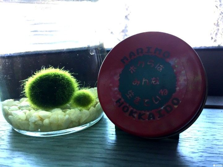Marimo - A Cute and Truly Unique Souvenir From Japan