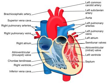 25 best biology 225 at concordia images on pinterest ap biology structural diagram of the human heart ccuart Choice Image