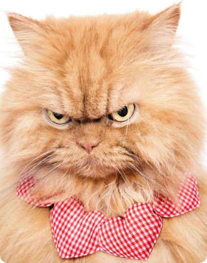 1000 id es sur le th me chats persans sur pinterest chatons persans cheveux courts exotiques. Black Bedroom Furniture Sets. Home Design Ideas