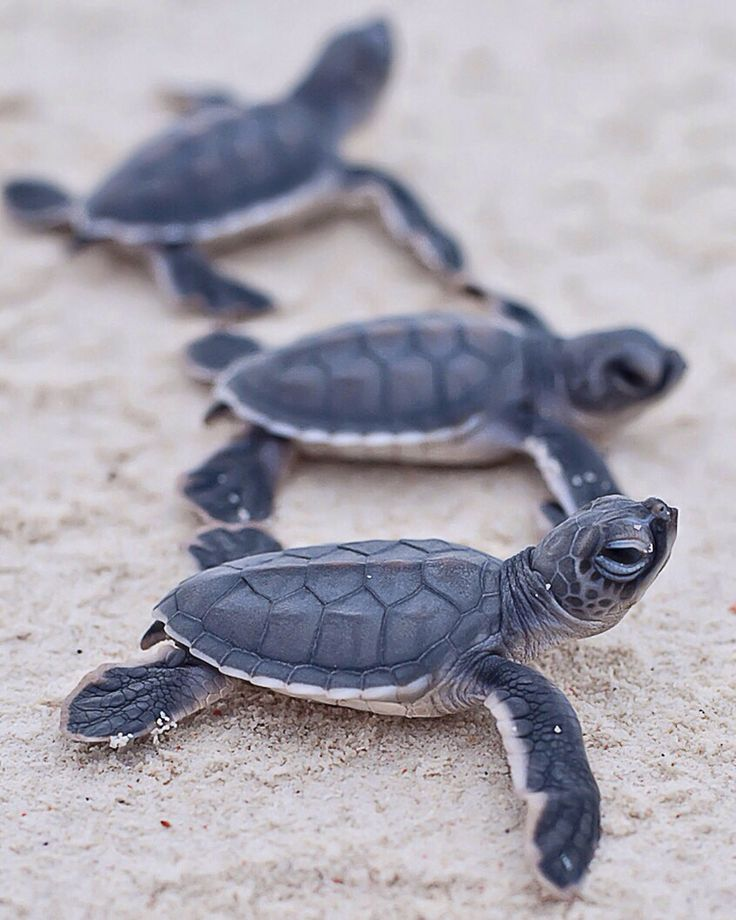 baby turtles.[ CaptainMarketing.com ]