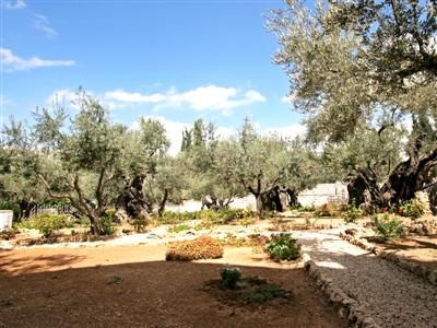 The Garden Of Gethsemane Is Where Jesus Prayed The Night Before His Crucifixion Read More Http