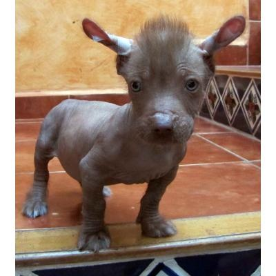 Xoloitzcuintle pup (mexican hairless dog xolo for short) (you say it like ,show-low-it-zoo-in-tly)