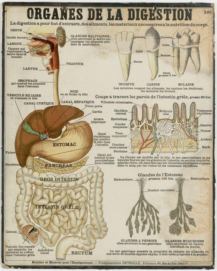 Deyrolle - Organes de la digestion