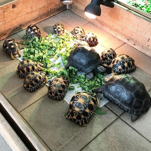 Rainy day ☂️☂️☂️#radiata #radiatedtortoise #aldabra #torto #tortoises #tortoise #kura2 #kuradarat #turtle #reptiles #reptile #herpetology #pets #pet #petstagram #tortoiseofinstagram #animal #shell #tortoiselover