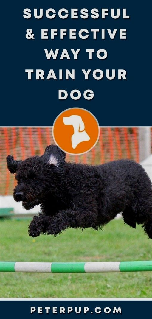 Dog Training Active Collar Dog Training School Goldendoodle Dog