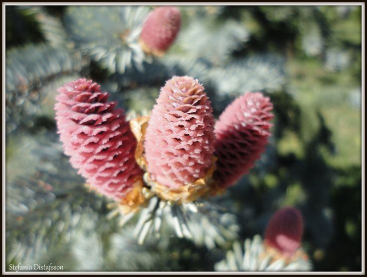 Cones on a tree by MrsEfi on DeviantArt