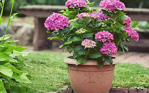 Hortensien Pflege 5 Tipps Fur Die Perfekte Blutenpracht Hortensien Garten Pflanzen Und Bepflanzung