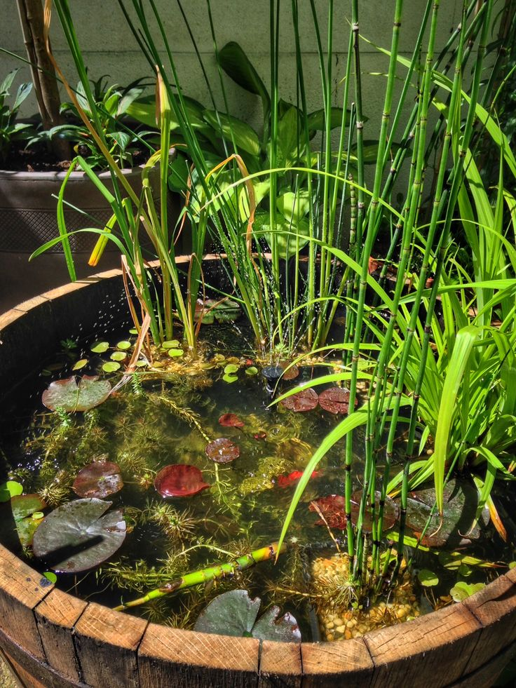 Just a few weeks since I started the half-barrel pond, but it is already thriving. The little solar fountain and the oxygenating plants are keeping the water aerated, and the pond snails and fish are very active. Early June 2015