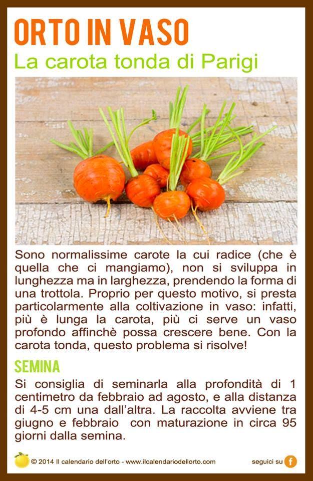 coltivare le carote tonde di Parigi