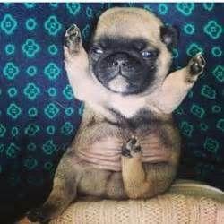 perro pug son los mas hermosos de toda la vida y siempre loseran de numero 10000,0000,00000