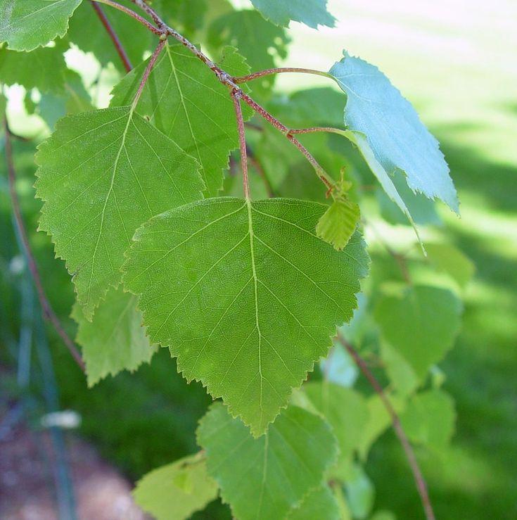 Betula pendula - vårtbjörk *** dubbelsågade bladkant, bladbas bredast, vårtiga årsskott