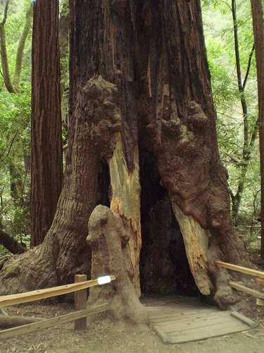 Muir Woods, California. I've been in this beautiful old tree.