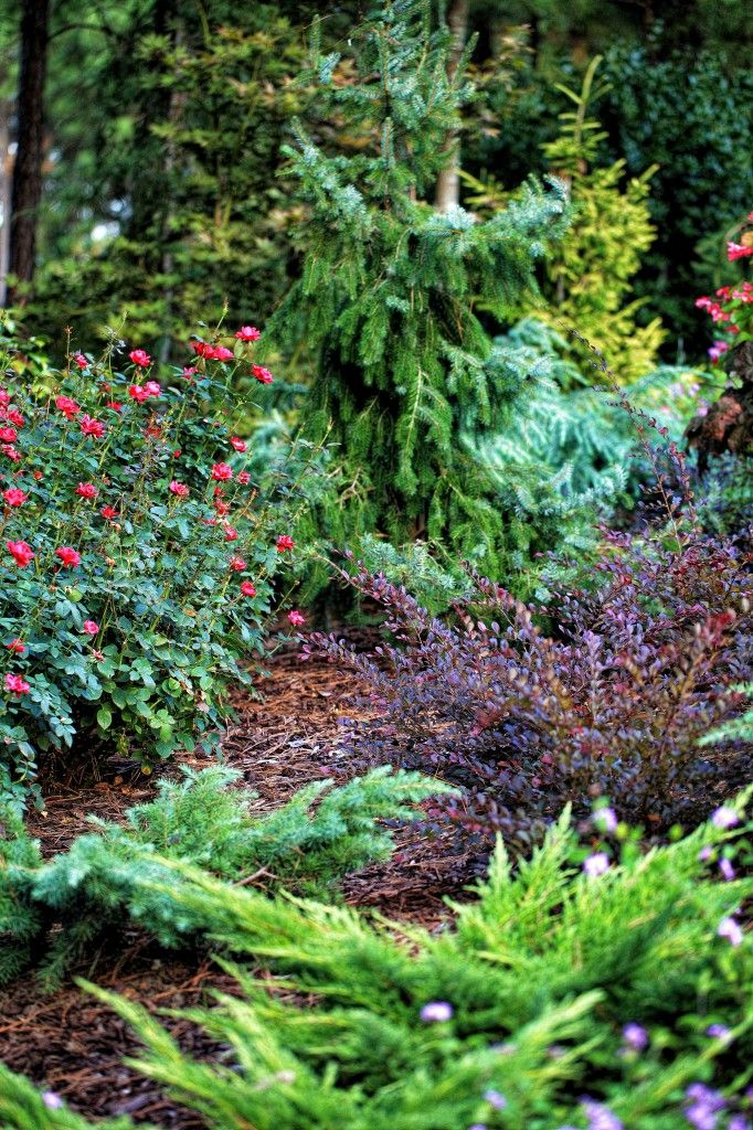 17 Best Images About Conifers On Pinterest