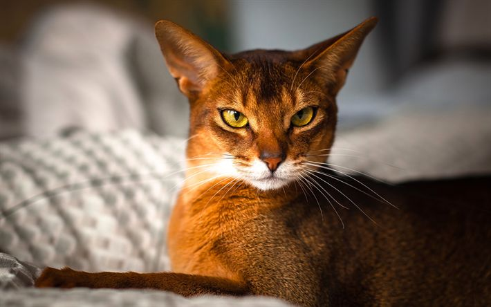 Download wallpapers Abyssinian Cat, 4k, cute animals, cats, Abyssinian