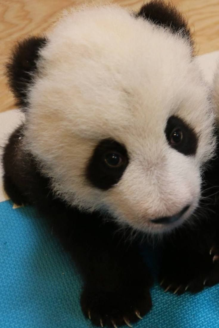 Toronto Zoo Reveals Panda Names Jia Panpan And Jia Yeuyeu