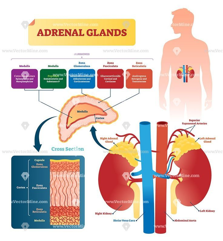 Adrenal Glands Anatomical Vector Illustration Infographic