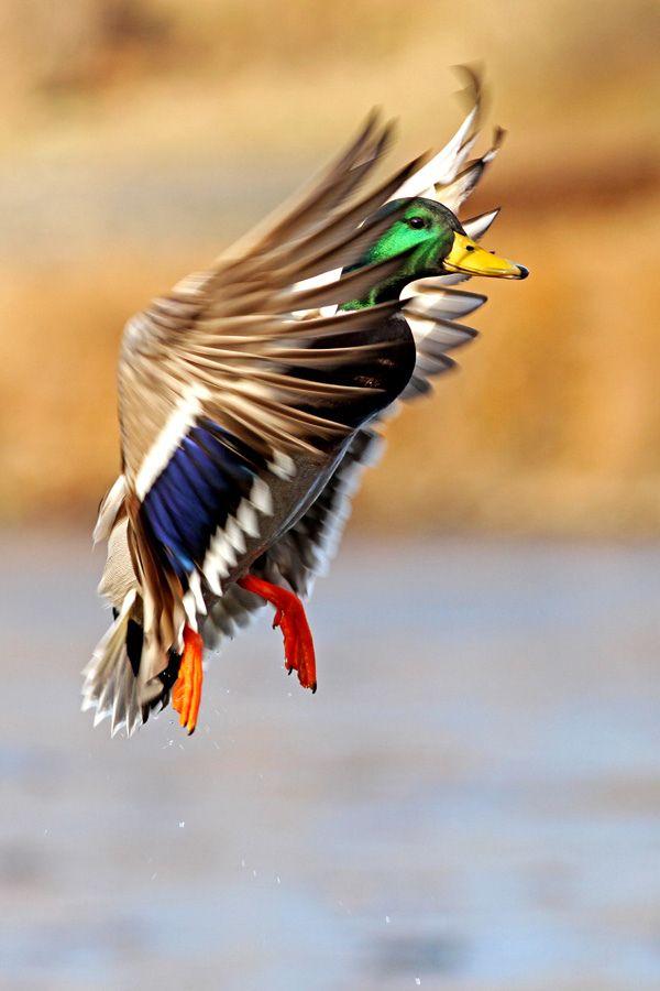 duck J'aime juste la photo