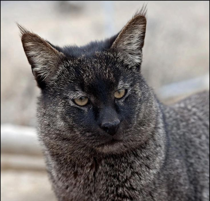 The jungle cat (Felis chaus) is a medium-sized cat native to Asia from southern China in the east through Southeast and Central Asia to the Nile Valley in the west.