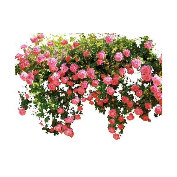 Roses Fence Liked On Polyvore Featuring Flowers Plants Backgrounds Bushes