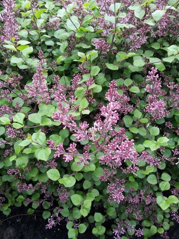 26 best rebecca p images on pinterest plants evergreen for 741 evergreen terrace