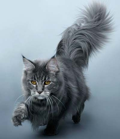 maine coon pawing at something