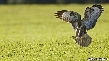 The 'greenest government ever' falls fowl of public protest when they announce research into a plan to stop Buzzards from raising young to protect pheasant poults from predation. Pheasant shooting is of course that well known hobby of the masses....NOT!: Killing Buzzards, Falls Fowl, Buzzard S Scavenging, Allow Buzzard, Buzzard Nests, Birds