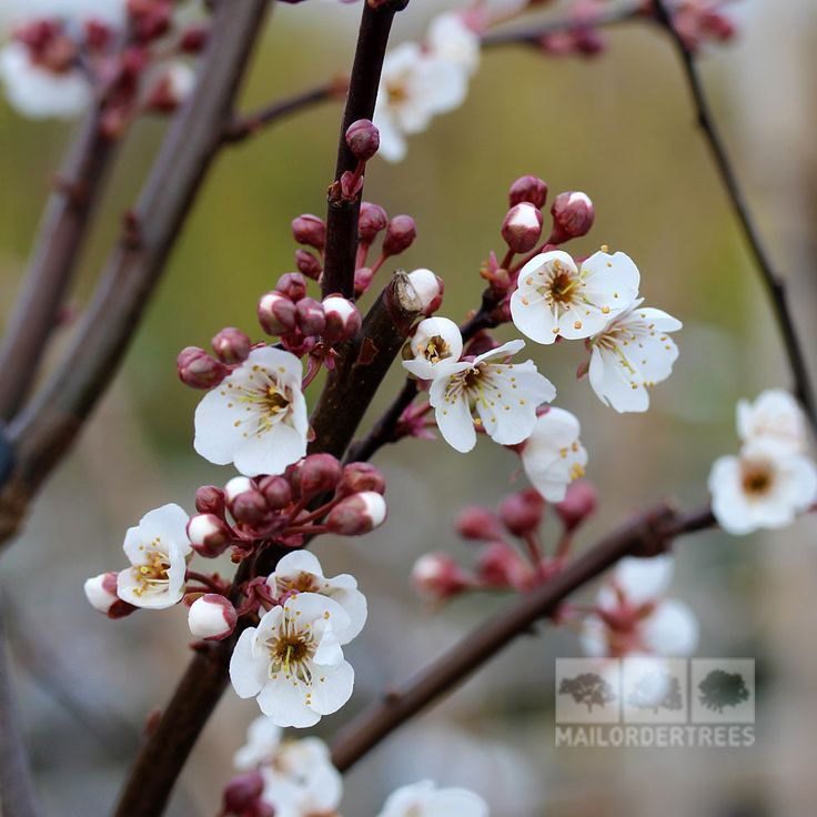 Prunus Trailblazer is an interesting ornamental fruiting plum with purple-bronze leaves and soft white flowers. Buy online for fast UK delivery, 2yr guarantee!
