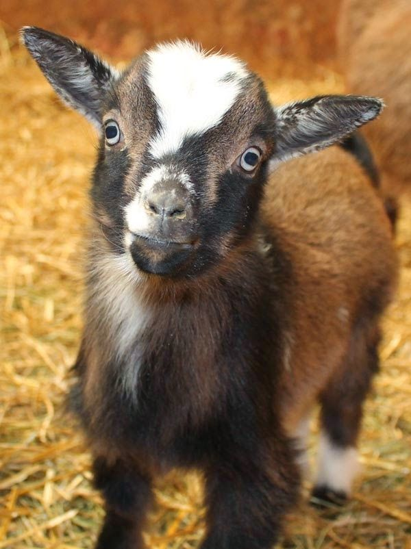 The Thrifty Homesteader: 7 things goats need