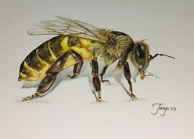 Realistic Pen Drawing Bee