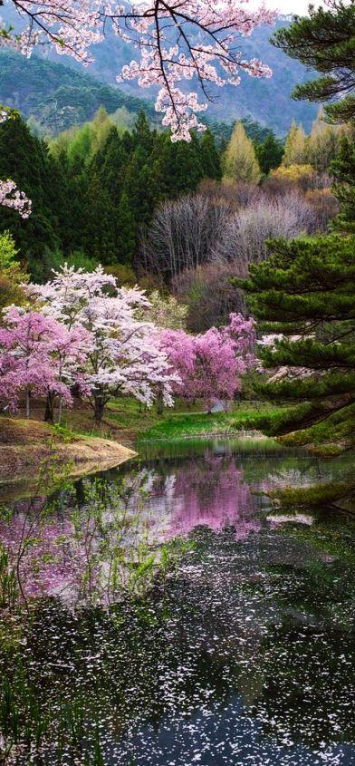 this is SPRING OF JAPAN #photo by Kazuhiro Yashima #flower tree landscape amazing reflection rosa pink http://itz-my.com
