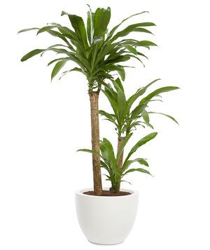 The popular Dracaena plant, with its trunk-like stems and shiny leaves, took in more of the gas than any other greenery tested (94% over the 12-hour study period).