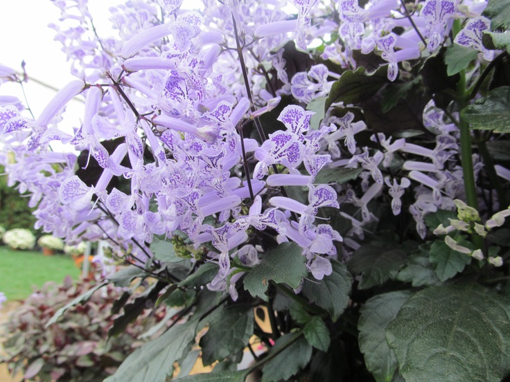 Exquisite Mona Lavender - not a lavender plant at all, but a variety of Plectranthus.