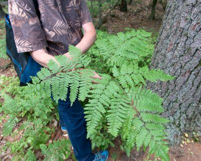Oak Fern Information: How To Care For Oak Fern Plants Oak fern plants are perfect for spots in the garden that are hard to fill in. Extremely cold hardy and shade tolerant, these ferns have a surprisingly bright and airy look that can work wonders with dark spots in short summers. Learn more in this article.