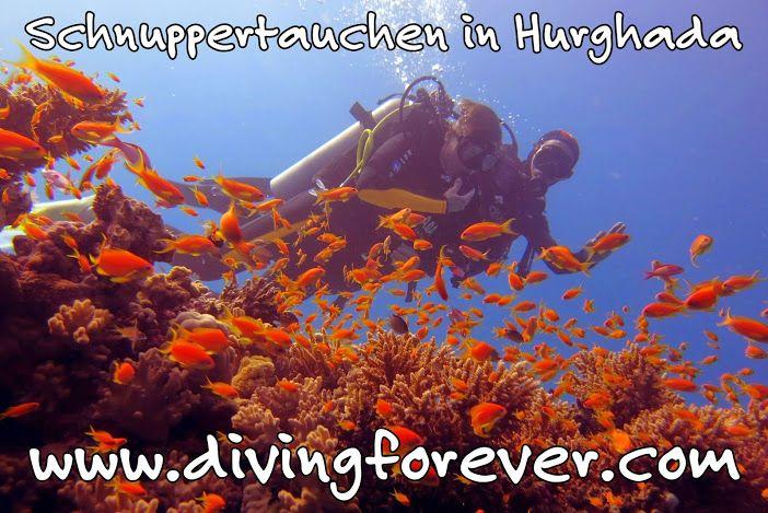 #Tauchen_Hurghada http://www.divingforever.com Kontakt in Ägypten Telefon: (+2) 01111211804 E-Mail: divingforever_hurghada@yahoo.com https://www.facebook.com/divingforever.npage.de