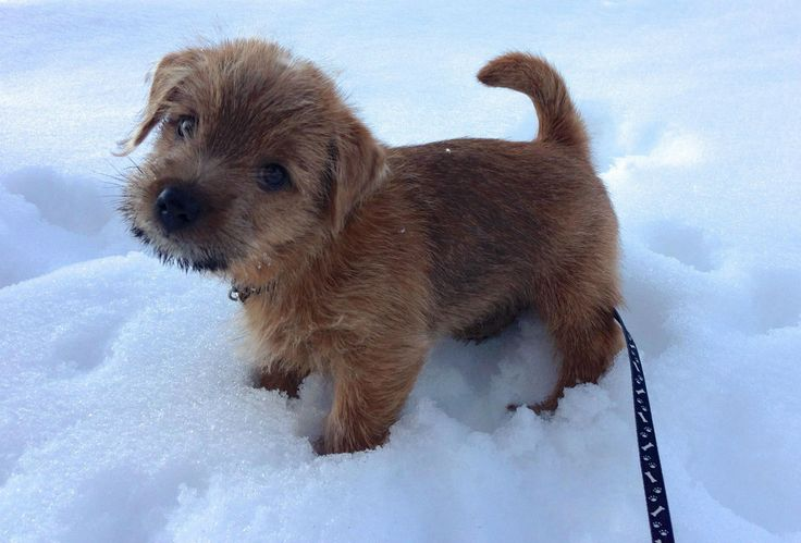 Non Shedding Dog Breeds That Are Terrier Norfolk Terrier