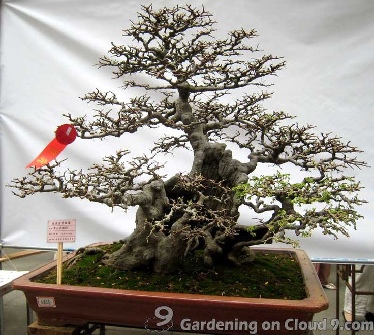 Image Detail For  Bonsai How To   Bonsai Tree Care   Prune And