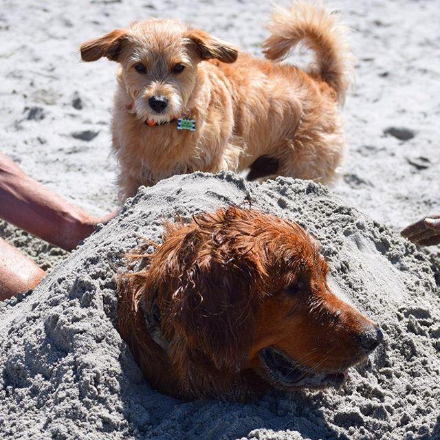 【terrytheterrier01】さんのInstagramをピンしています。 《Dude, Are you okay? ねぇ大丈夫?   #beachdogsofinstagram #beachdog #dogbeach #sandiegodog #california #beach #mutt #rescuedog #instadog #dogsofinstagram #terriermix #terrier #fluffypack #ビーチ #テリア #海 #テリアミックス》