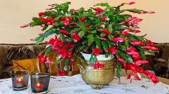 Aby vianočný kaktus na Vianoce naozaj aj kvitol: Neotáčajte ho!
